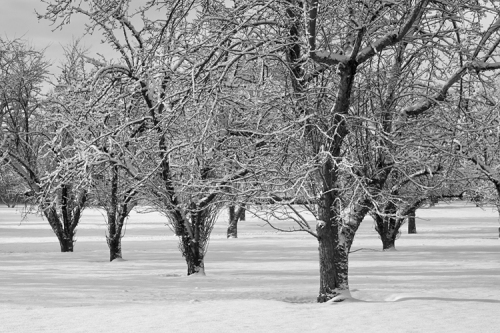 Old orchard in the snow.