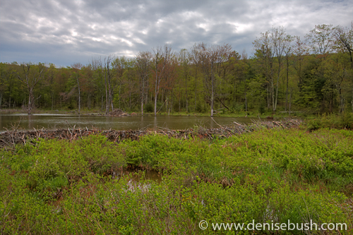 'Beaver Pond, Lodge & Dam' © Denise Bush