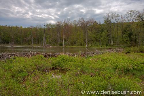 'Beaver Pond, Lodge & Dam' © Denise Bush