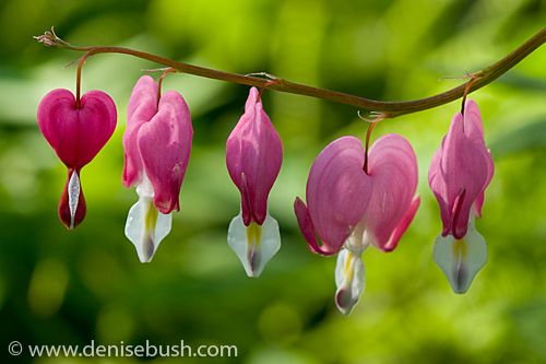 'Bleeding Hearts' © Denise Bush