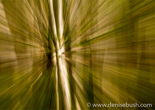 'Birch Grove Zoom' © Denise Bush