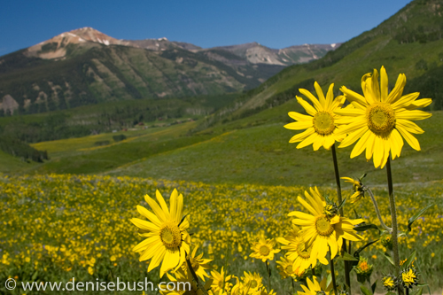 'Rocky Mountain Sunflowers' © Denise Bush