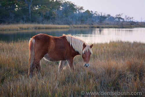 'Assateague Wild Pony'  © Denise Bush