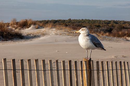 'Herring Gull Resting'  © Denise Bush