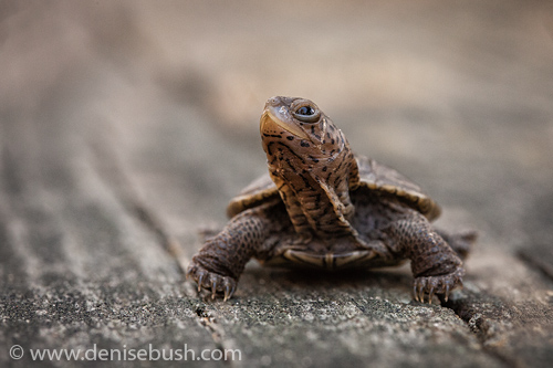 'Teague The Turtlle'  © Denise Bush