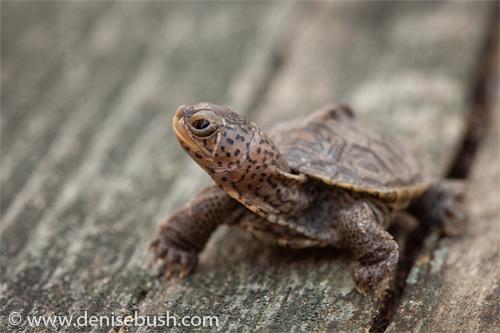 'Teague The Turtle II'  © Denise Bush