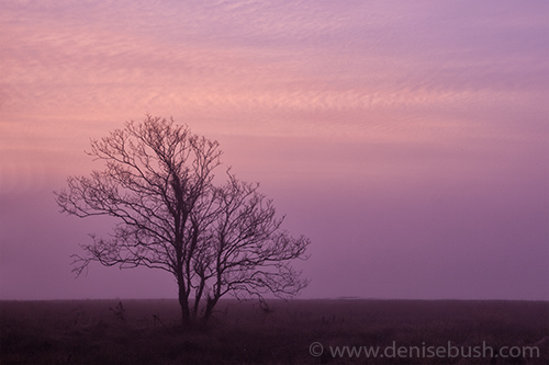 'Tree At Dawn'  © Denise Bush