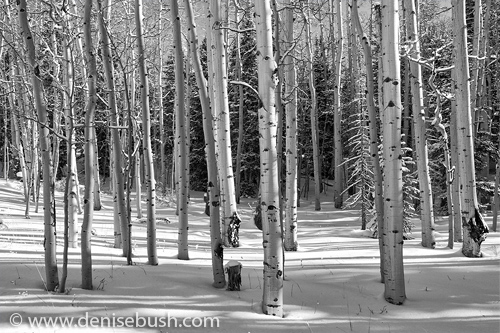 'Aspen Grove in Winter'  © Denise Bush