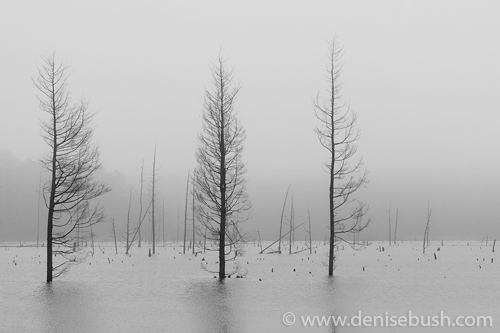 'Fog & Dead Trees'  © Denise Bush