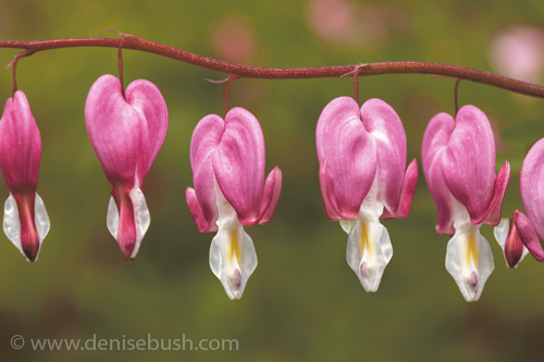 'Bleeding Hearts Close-up'  © Denise Bush