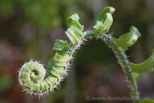 'Emerging Fern'  © Denise Bush