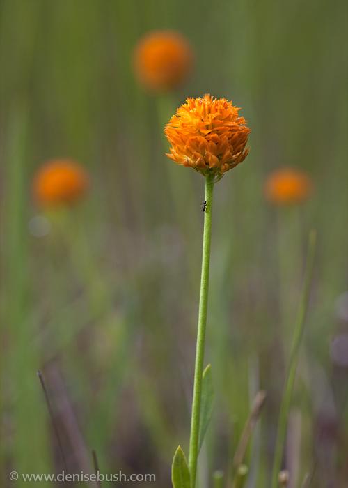 'Orange Milkwort'  © Denise Bush