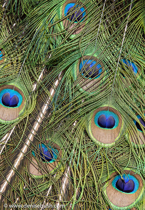 'Peacock Feathers'  © Denise Bush