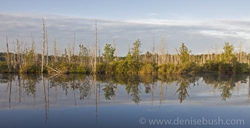 'Sun Falling On Cedars'  © Denise Bush