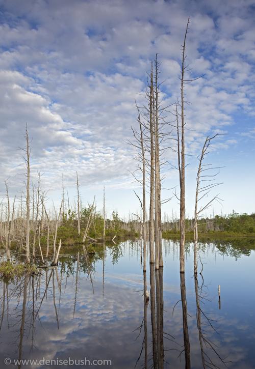 'Wading Cedars'  © Denise Bush