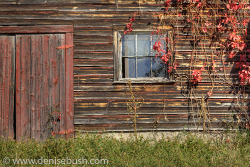 'Barn With Red Vines'  © Denise Bush