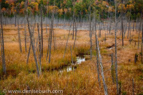 'Adirondack Swamp'  © Denise Bush