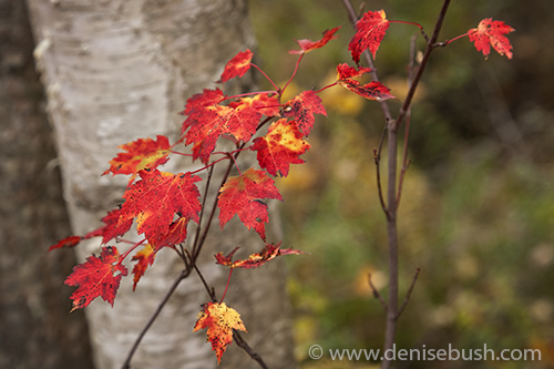 'Red Maple Leaves'  © Denise Bush