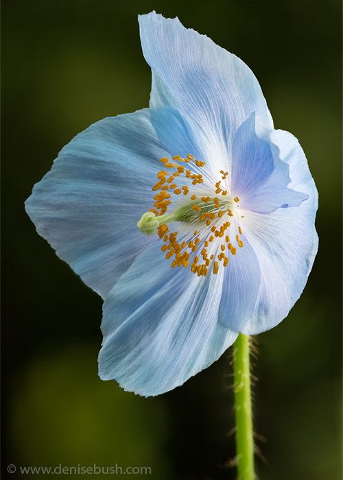 'Poised Poppy'  © Denise Bush