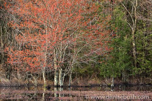 Swamp Maples in Spring