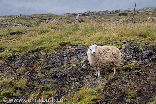 'Sheep In the Wind'  © Denise Bush