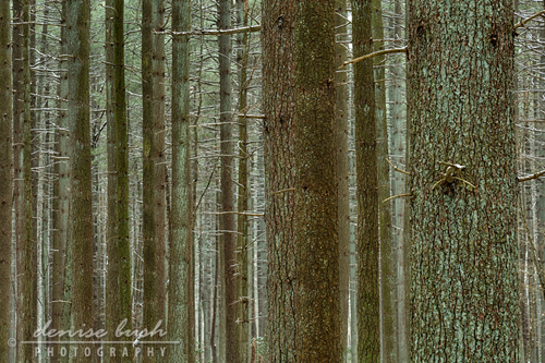 'Forest Pattern'  © Denise Bush