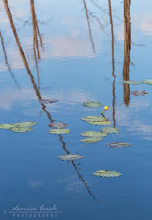 'Lilies & Cedar Trees'  © Denise Bush