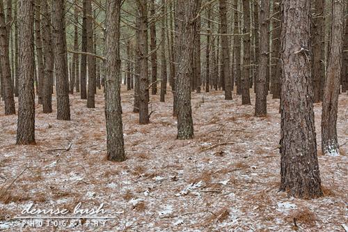 'Snow Falling On Pines'  © Denise Bush
