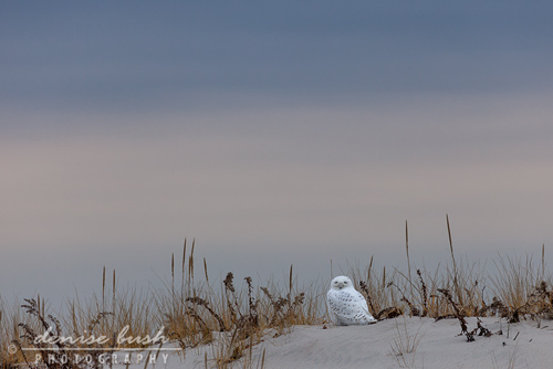 'Snowy On A Dune'  © Denise Bush