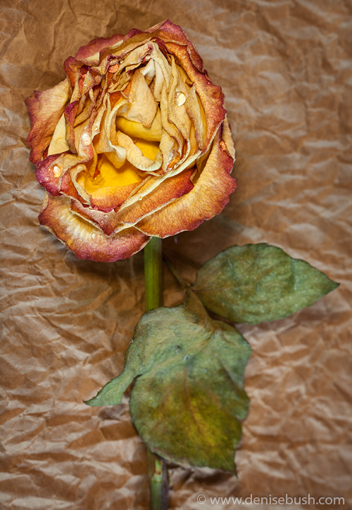 'Wilted Rose With Drops'  © Denise Bush