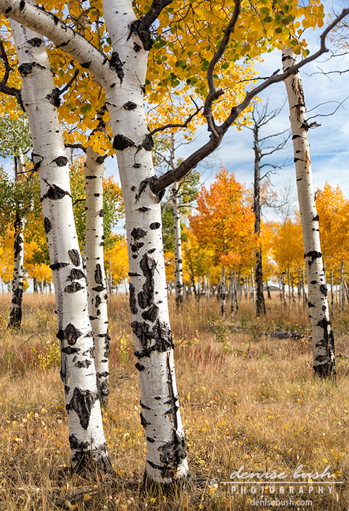 'Among the Aspens' © Denise Bush click here to view larger or order a print