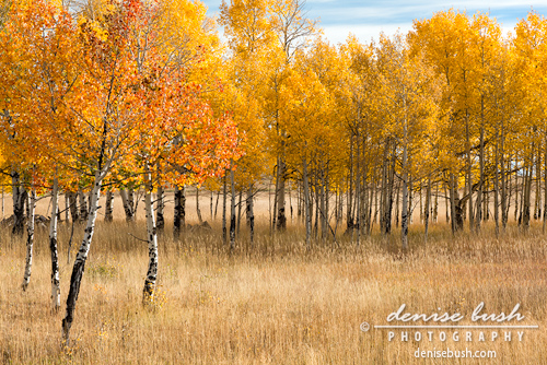 'Aspen Gathering' G Denise Bush click here to view larger or order a print