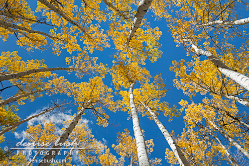 Aspen Inspiration' © Denise Bush