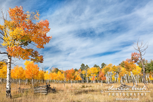 'Aspen Tree Welcome' © Denise Bush click here to view larger or order a print