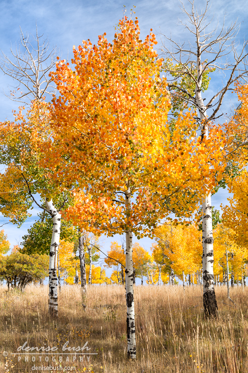 'Aspen Trio' © Denise Bush click here to view larger or order a print