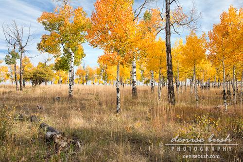 'Field of Aspens' © Denise Bush © Denise Bush