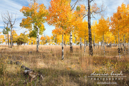 'Field of Aspens' © Denise Bush © Denise Bush