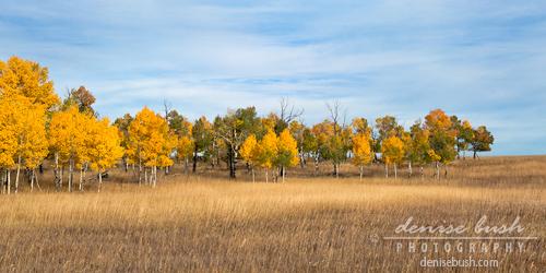 'Young Aspen Grove in Autumn' © Denise Bush