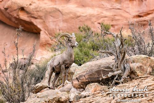 'Desert Bighorn II' © Denise Bush