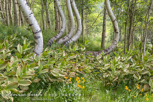 'Curved Aspen Grove' © Denise Bush