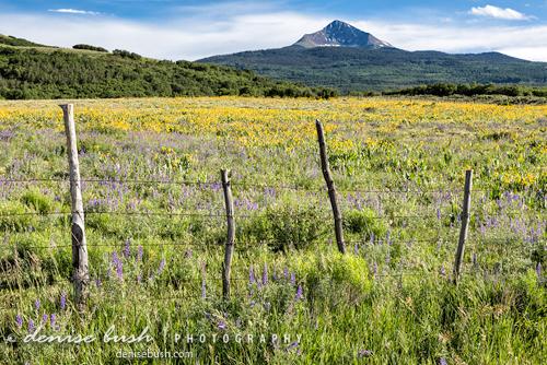 'Lone Cone & Wildflowers' © Denise Bush