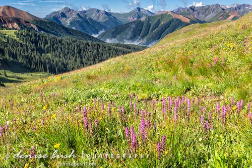 'Mountain Meadow with Elephanthead Lousewort' © Denise Bush