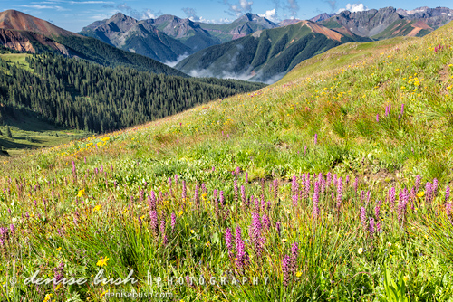'Mountain Meadow with Elephanthead Lousewort' © Denise Bush