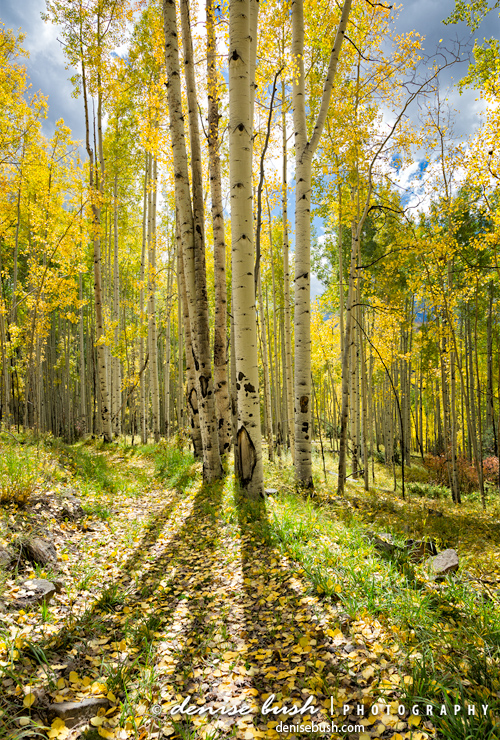 'Backlit Aspen Trail' © Denise Bush