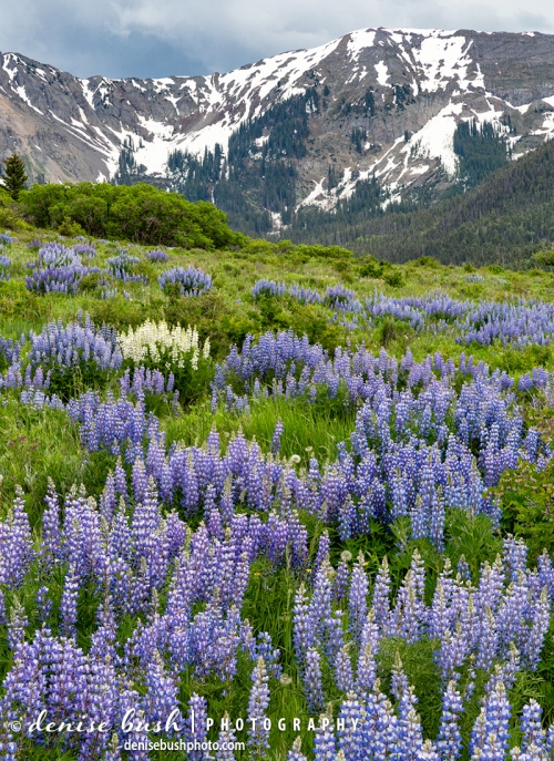 A rare white lupine cluster stands out in a filed of purple!