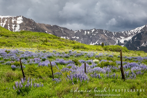 A fence creates a boundry protecting a beautiful field of lupine.