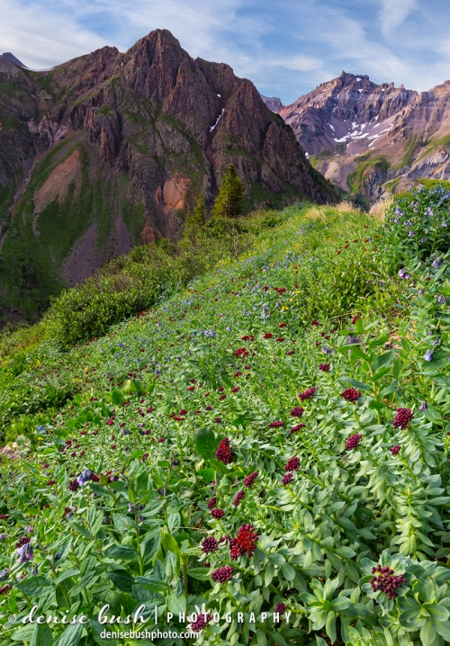 King's Crowns and other wildflowers are found along a summer slope in Ouray County Colorado.