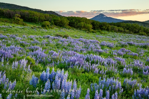 A field of Lupine makes an early July sunset even more beautiful, in the San Juan Mountains of Colorado.