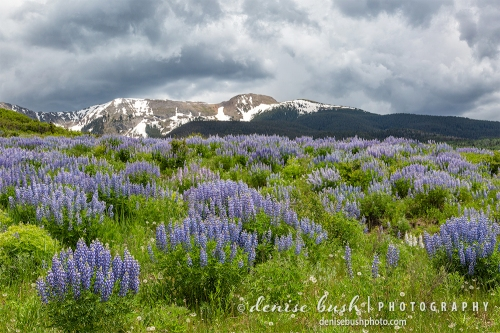 A brilliant lupine field shows off its color under a cloudy sky.
