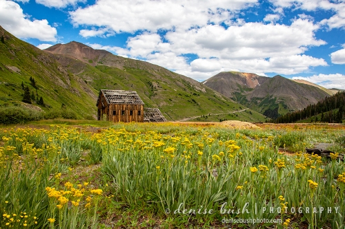 An old mining building high up in the mountains is surrounded by gold … gold flowers that is!